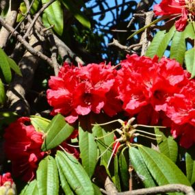 Rhododendrn in bloom 17-Mar-13
