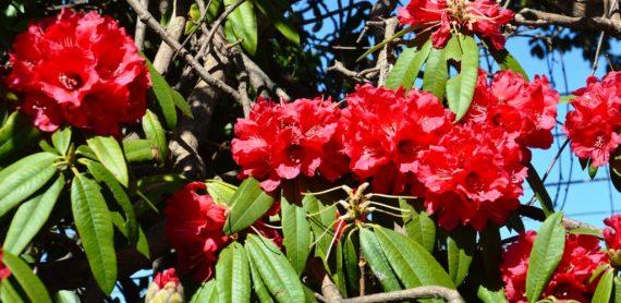 Rhododendrn in bloom 17-Mar-13