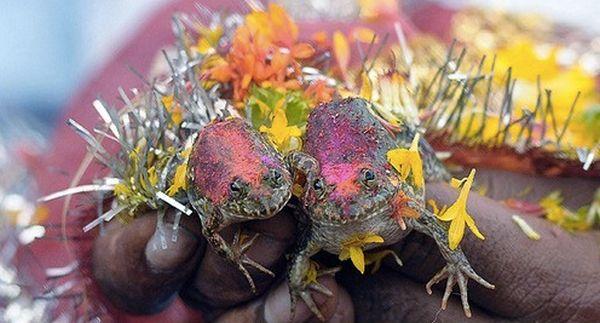 Frog Wedding in Maharashtra