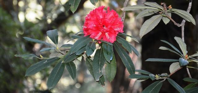 Himachal state flower Rhododendrn