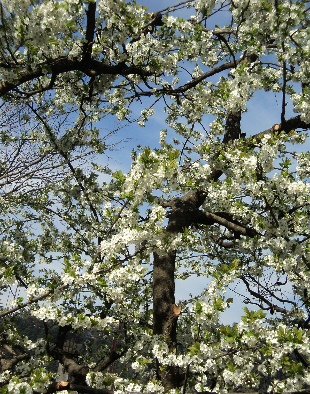 Weather change has fruit growers a worried lot in Himachal