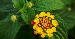 weed and lantana, a flowering exotic shrub