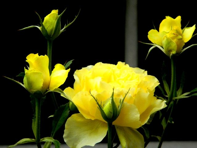 Beauty of the yellow rose