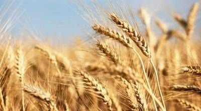 Haryana gets only 58.82 lakh tonnes of wheat
