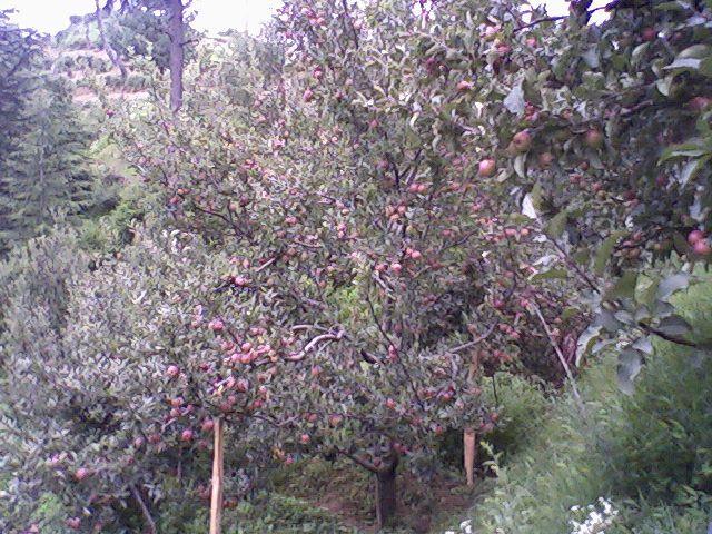 Himachal's apple basket bountiful this season