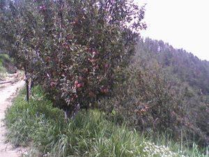 Himachal's apple basket bountiful this season_1