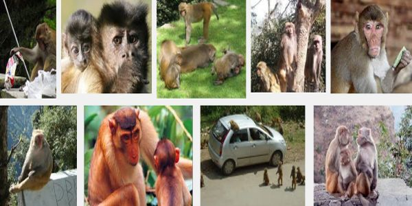 Himachal proposes primate parks to contain monkey menace