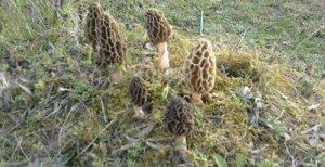 Himachal reaps a bountiful guchhi crop