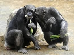 US to reduce chimpanzees' use in research