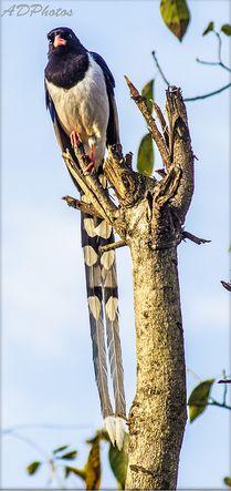 Yellow-billed Blue Magpie or Gold-billed Magpie (Urocissa flavirostris)