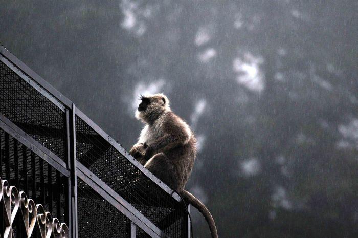 A baboon enjoys a monsoon shower