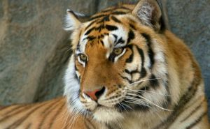 India well ahead in tiger protection strategies