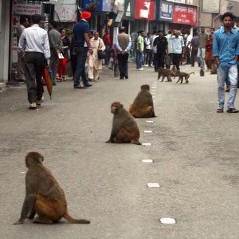 Daring monkeys keep shopper at bay on The Mall Shimla