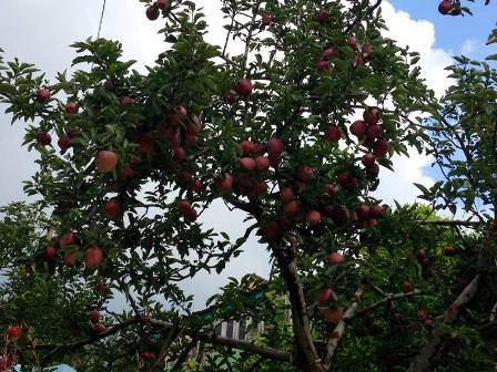 Apples ready for pick