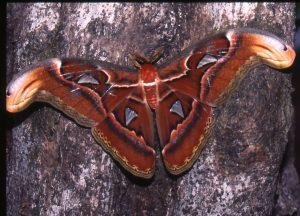 Attacus trapobanis-bws