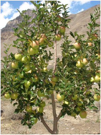 Delicious Spiti golden apples: Photo Dr Amit Vikram