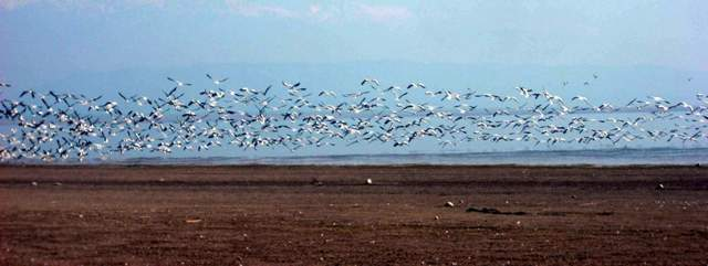 Bar headed geese at Pong: File Photo by Sanjeeva Pandey