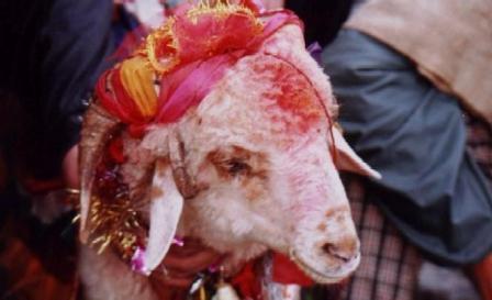 Four horned ram